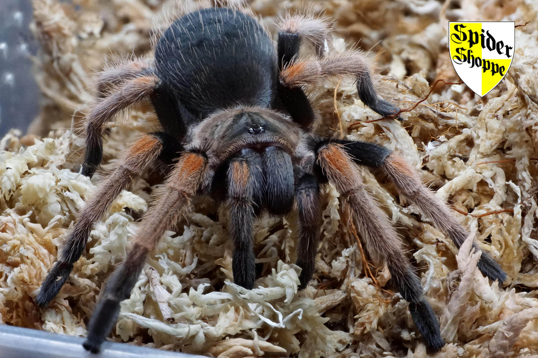 Brachypelma baumgarteni (Mexican Orange Beauty) 2
