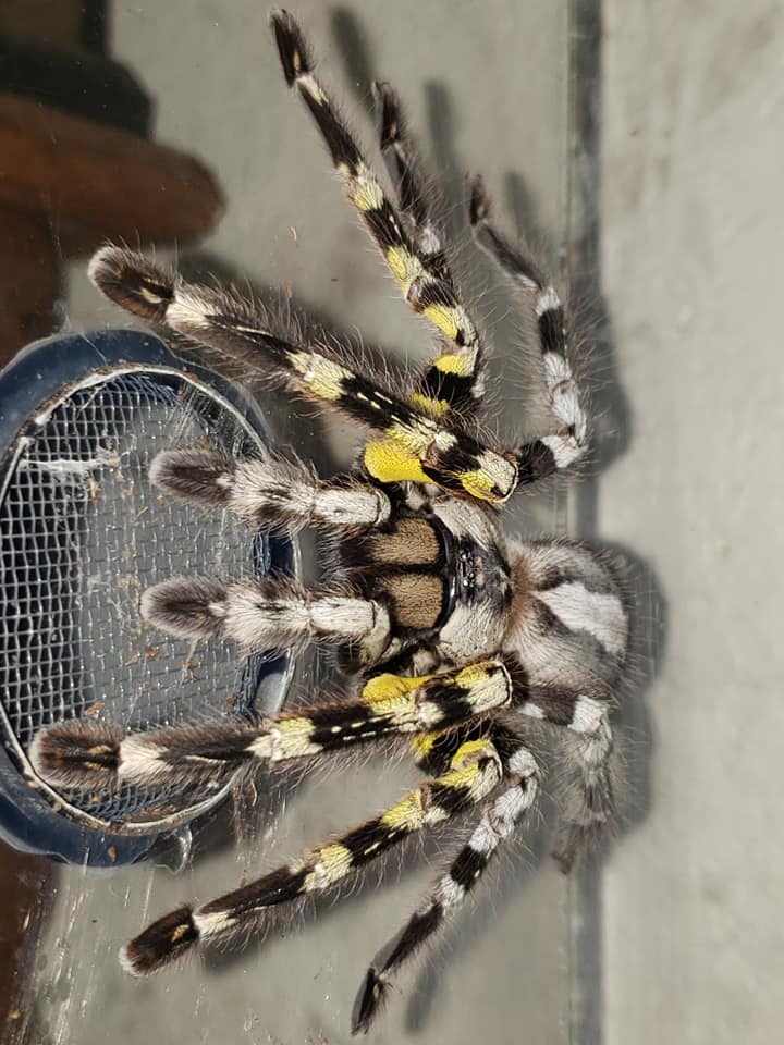 Poecilotheria regalis (Indian Ornamental) 1