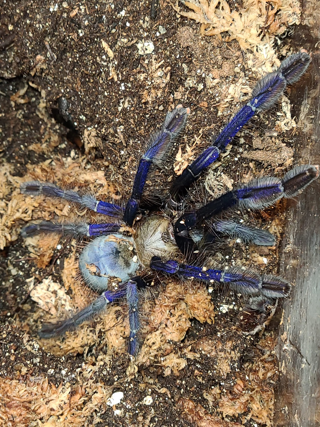 Lampropelma violaceopes (Singapore Blue) 1