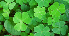 Lucky Shamrock DIY Tue March 13th 2018 6-9p