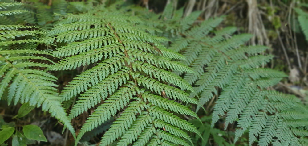 photo of fern plants from new zealand