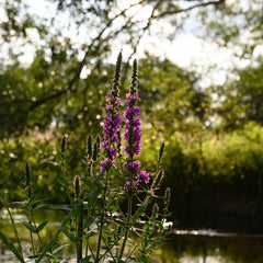 Spring flowers along the river Test