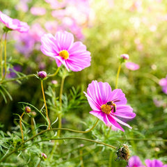 Bees in garden on blooming cosmos
