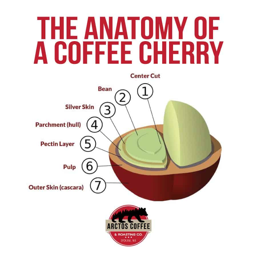 coffee cherry split into layers identifying each layer