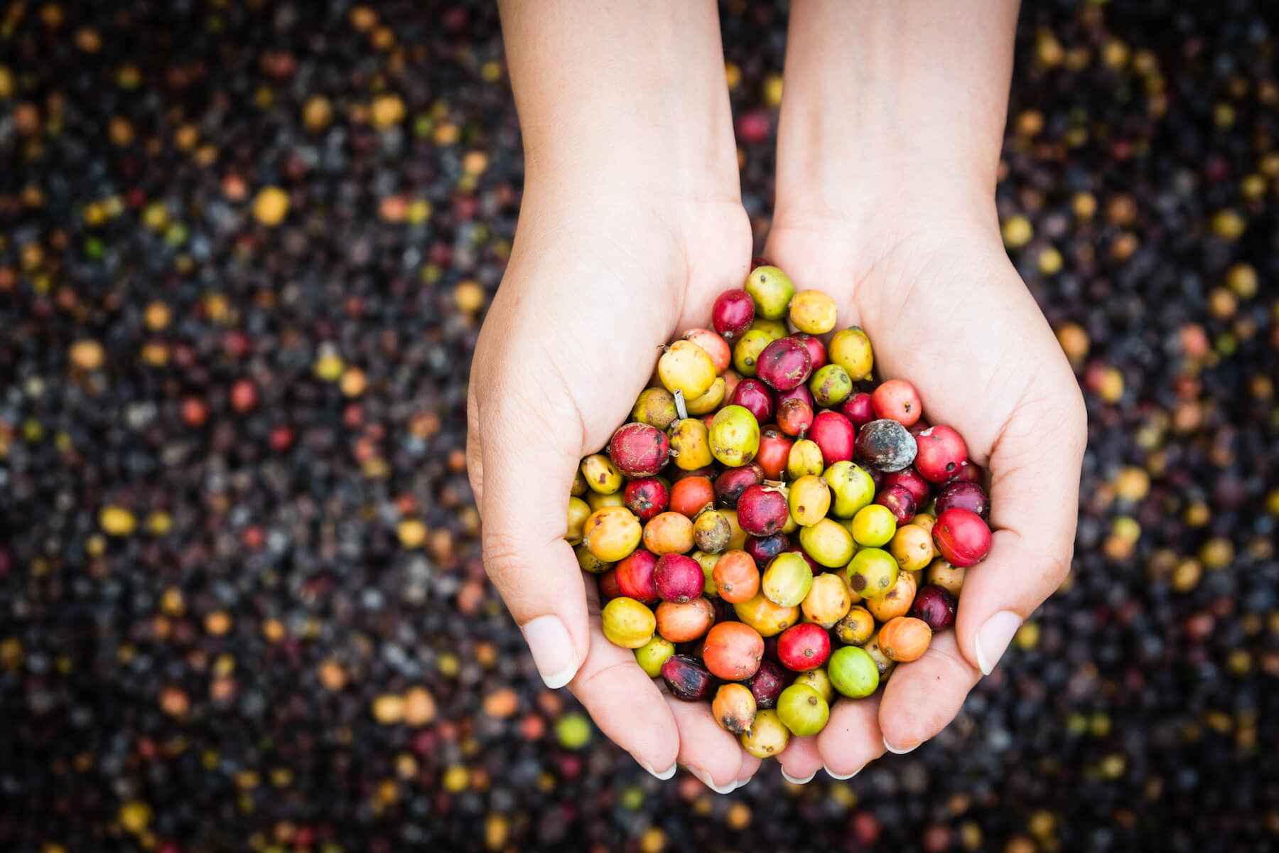 coffee cherries at different stages of ripeness in ladies hands