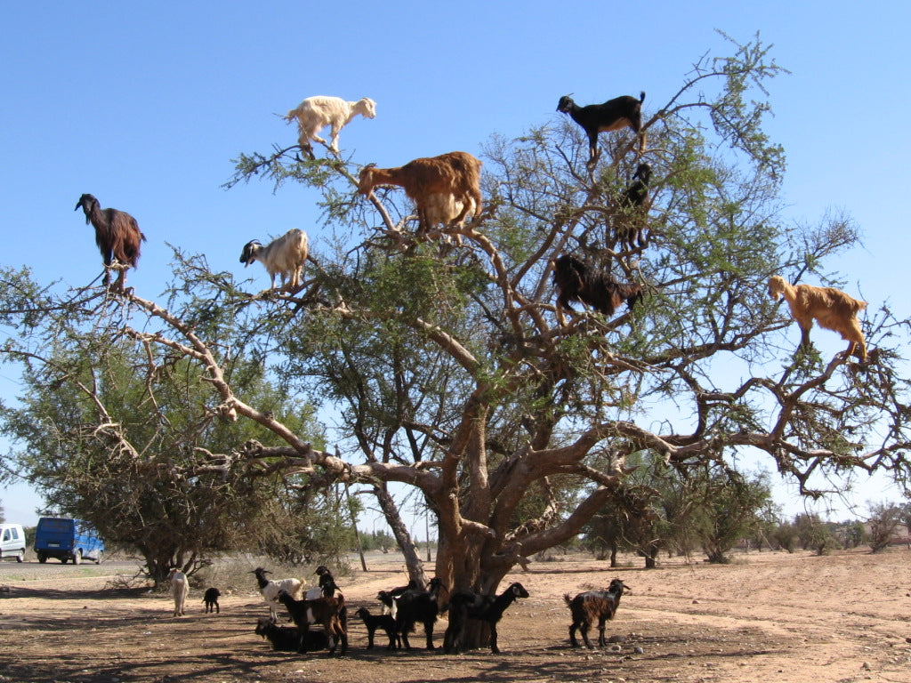 goats sitting in trees