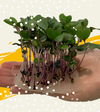 Load image into Gallery viewer, Edible Forest Grow Kit - Red Cabbage [Microgreen]