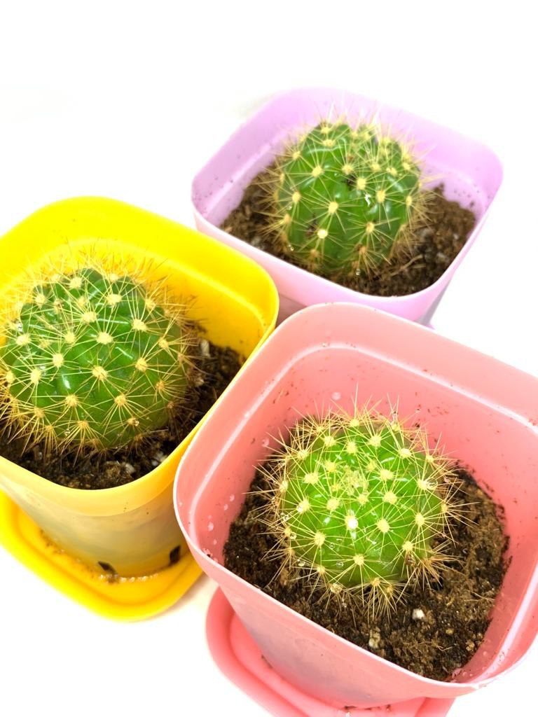 Golden barrel cactus (Bundle of 3)