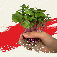 Load image into Gallery viewer, Edible Forest Grow Kit - China Rose Radish [Microgreen]