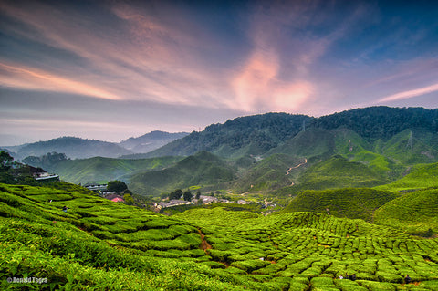 Chinese Tea Field
