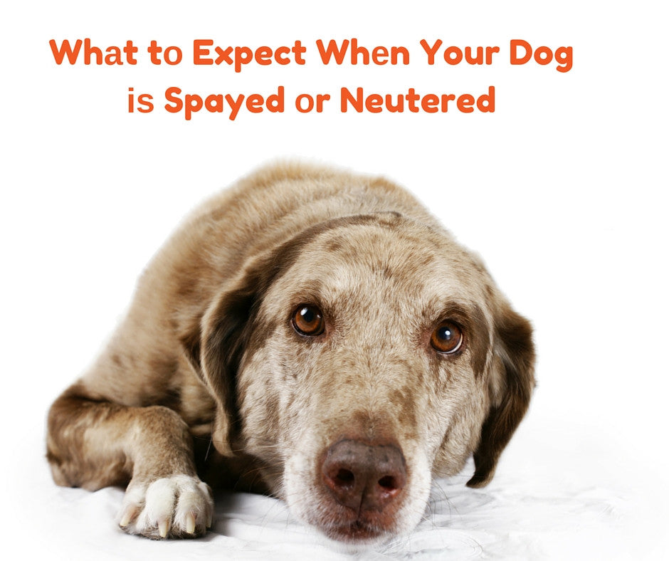 Whаt tо Expect Whеn Your Dog is Spayed оr Neutered