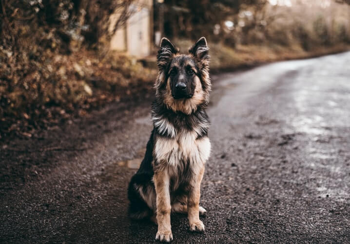 German Shepherd  : The Breed