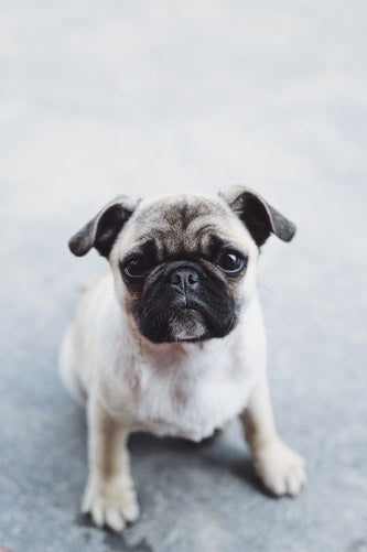 Pug : The Breed