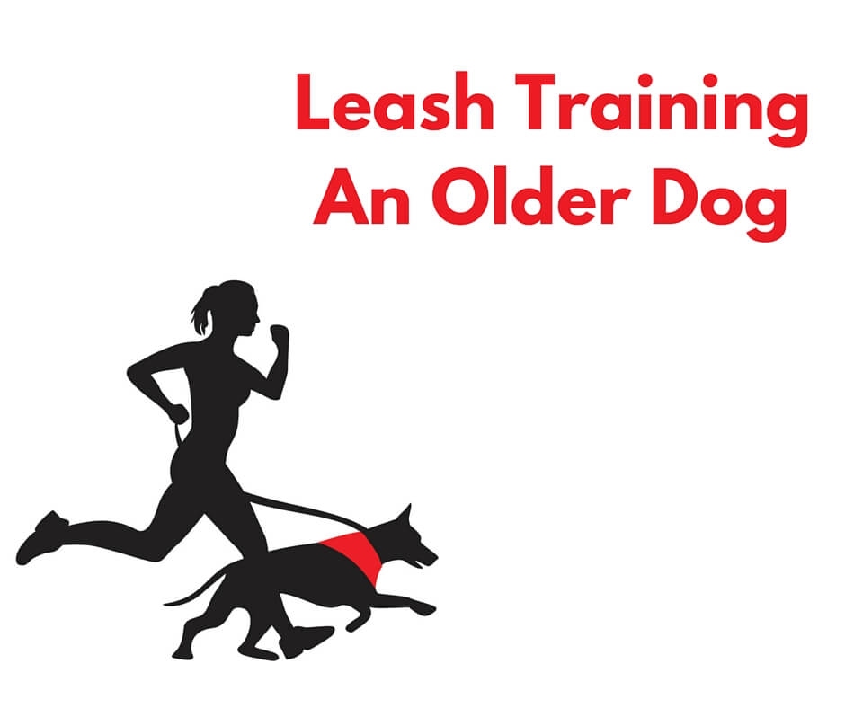 How to leash train an older dog.