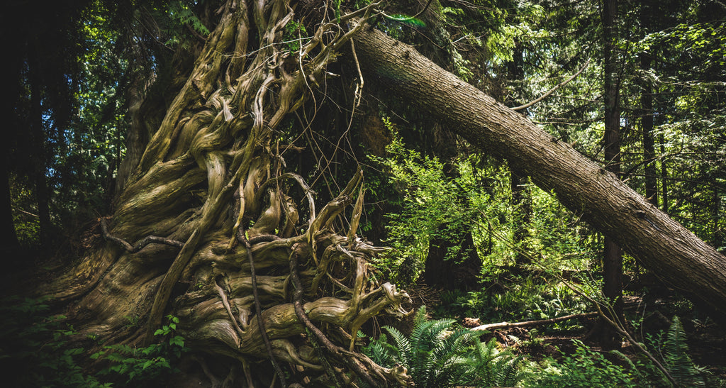 An old growth forest