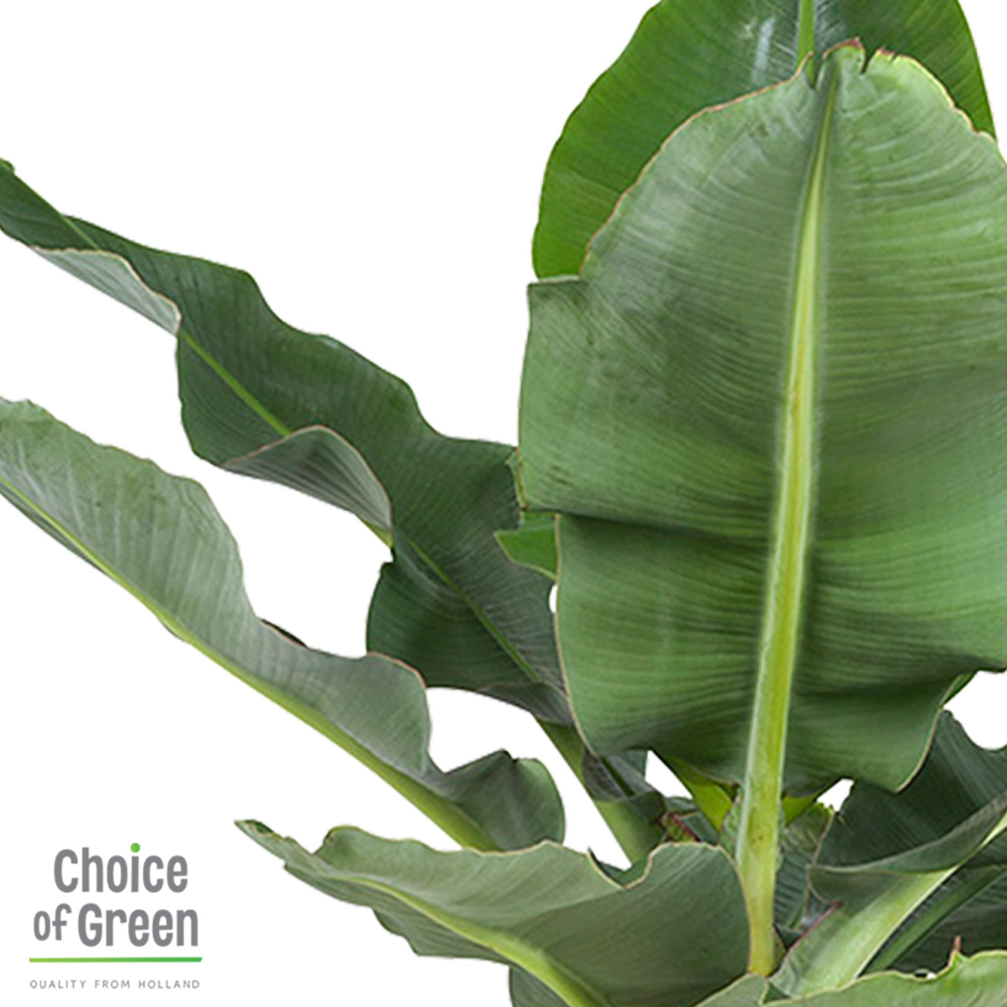 Choice of Green - Musa - Bananenplant - in Elho® Greenville pot bruin - Hoogte 80 cm - Diameter pot 30 cm