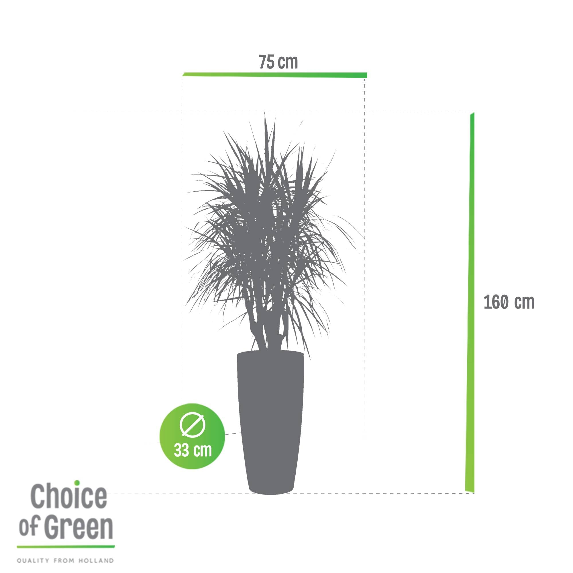 Choice of Green - Dracaena marginata - Drakenbloedboom - in SANTORINI pot taupe - Semi-Hydroculture - Hoogte 160 cm - Diameter pot 33 cm