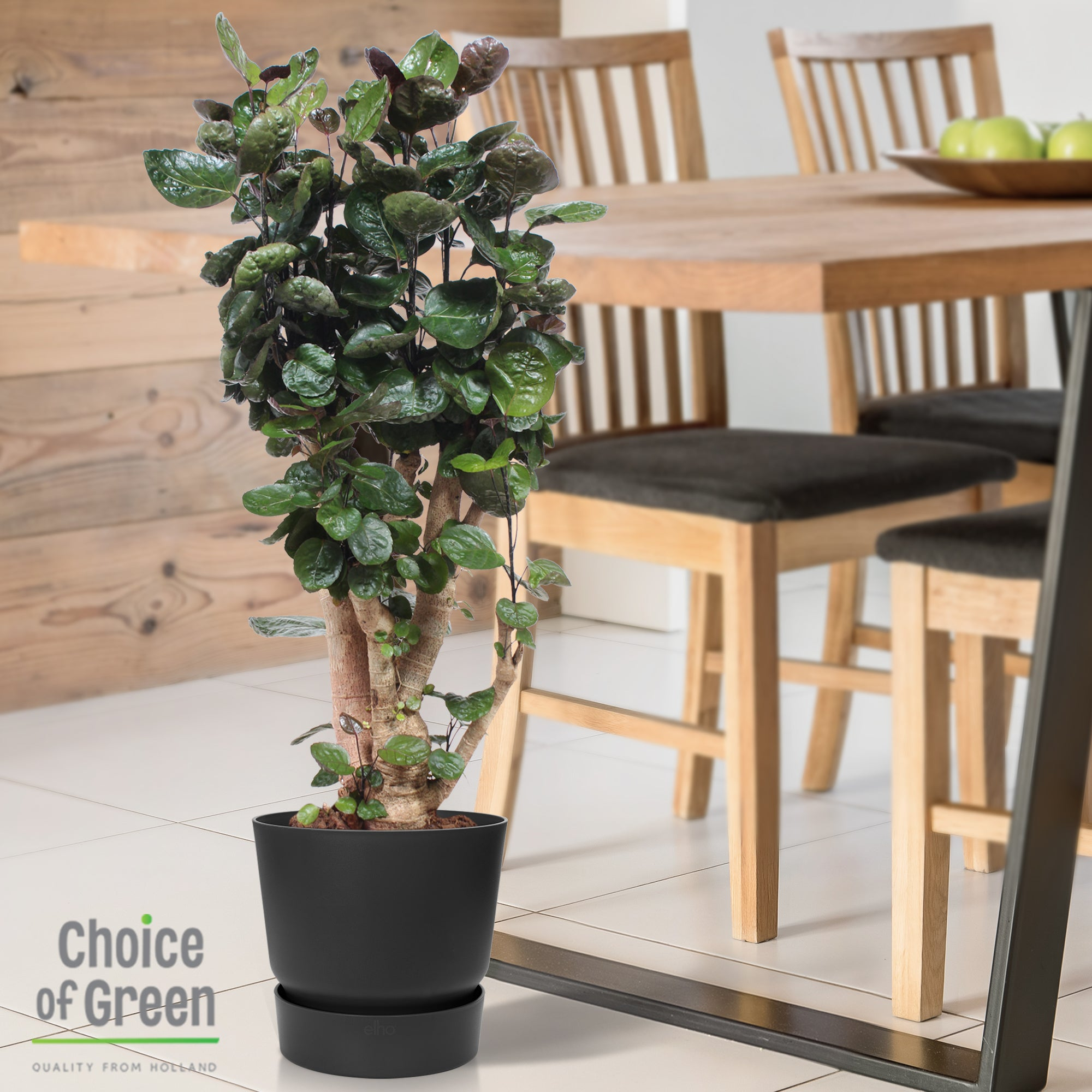 Choice of Green - Polyscias scutellaria Fabian - Aralia - in Elho® Greenville pot zwart - Hoogte 100 cm - Diameter pot 30 cm