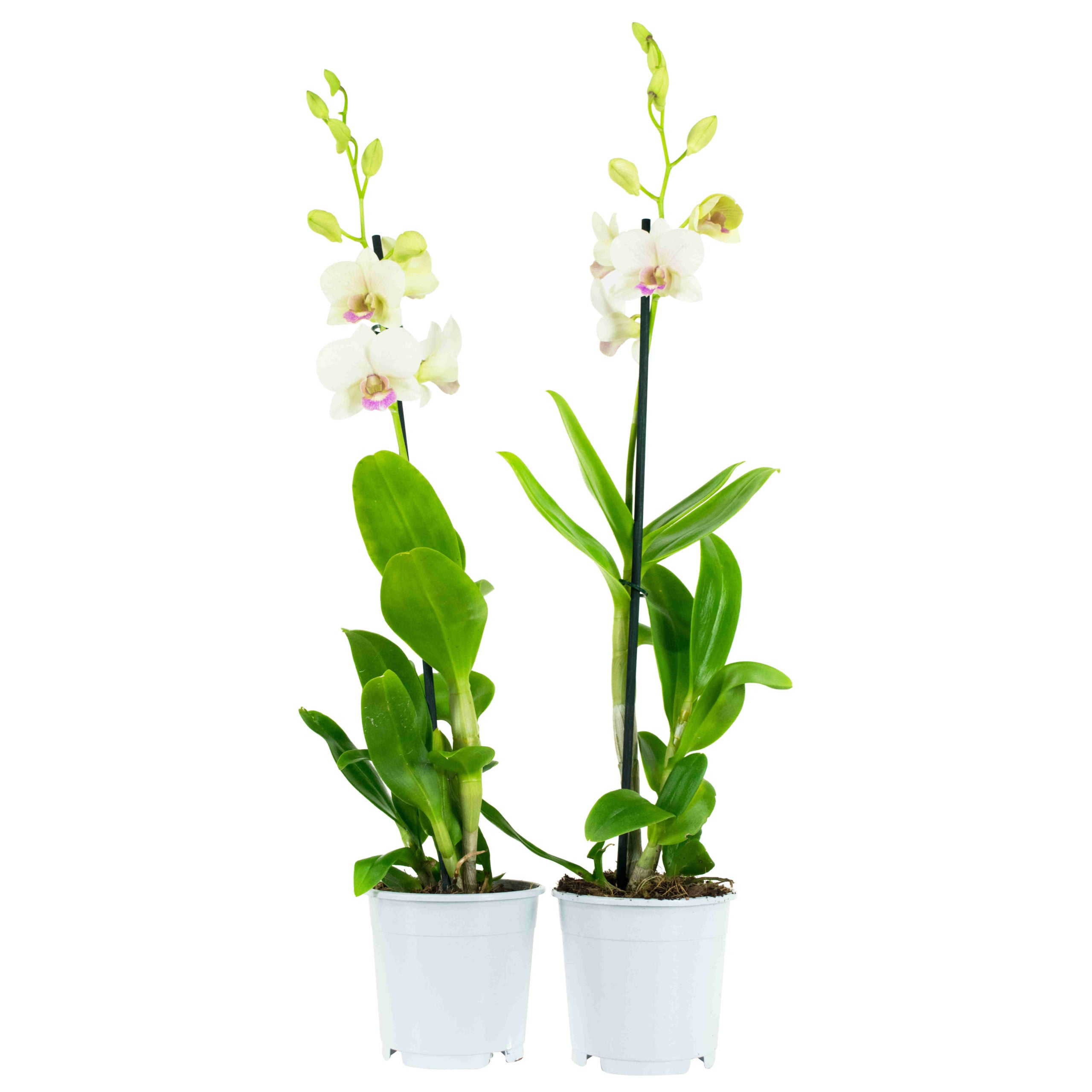 Choice of Green - Dendrobium Sa-nook Snow Jade - Hoogte 55 cm - Diameter pot 11 cm