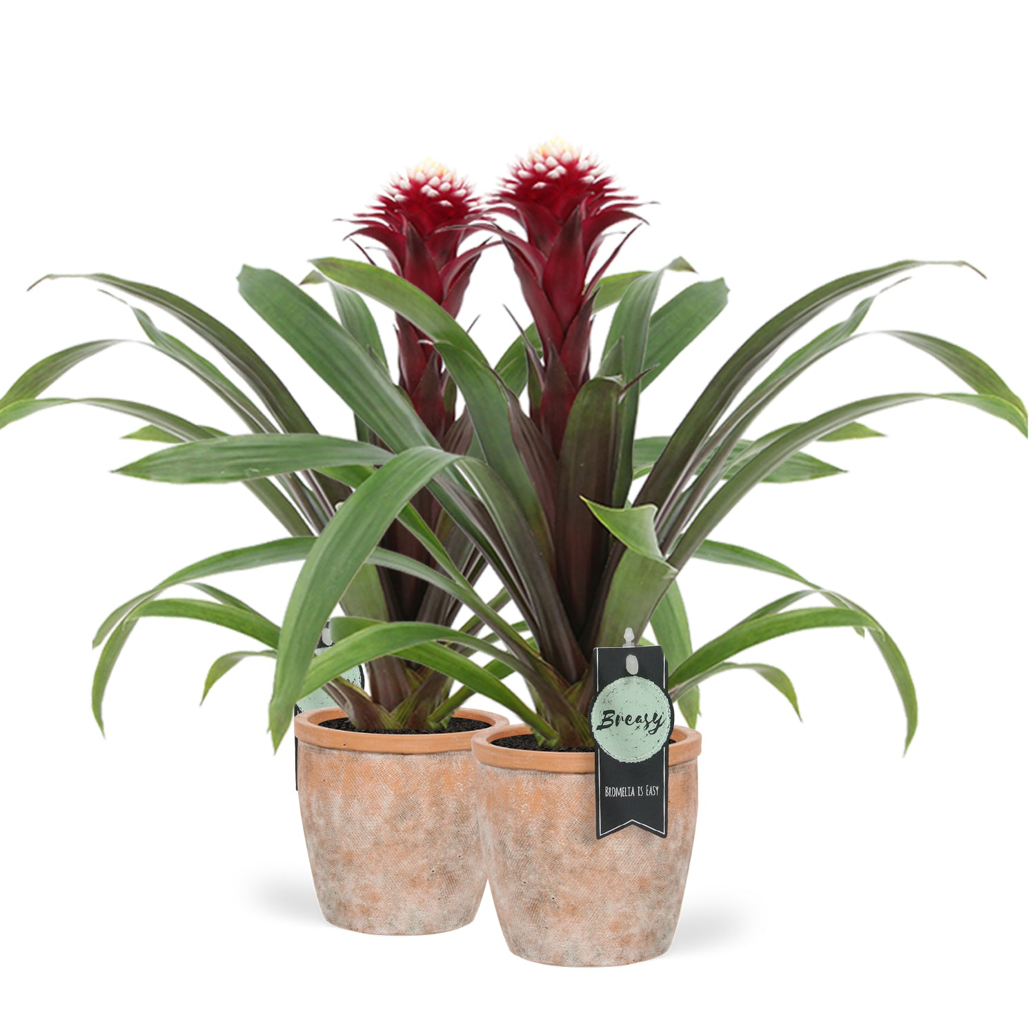 Choice of Green - Bromelia Guzmania Francesca + pot
