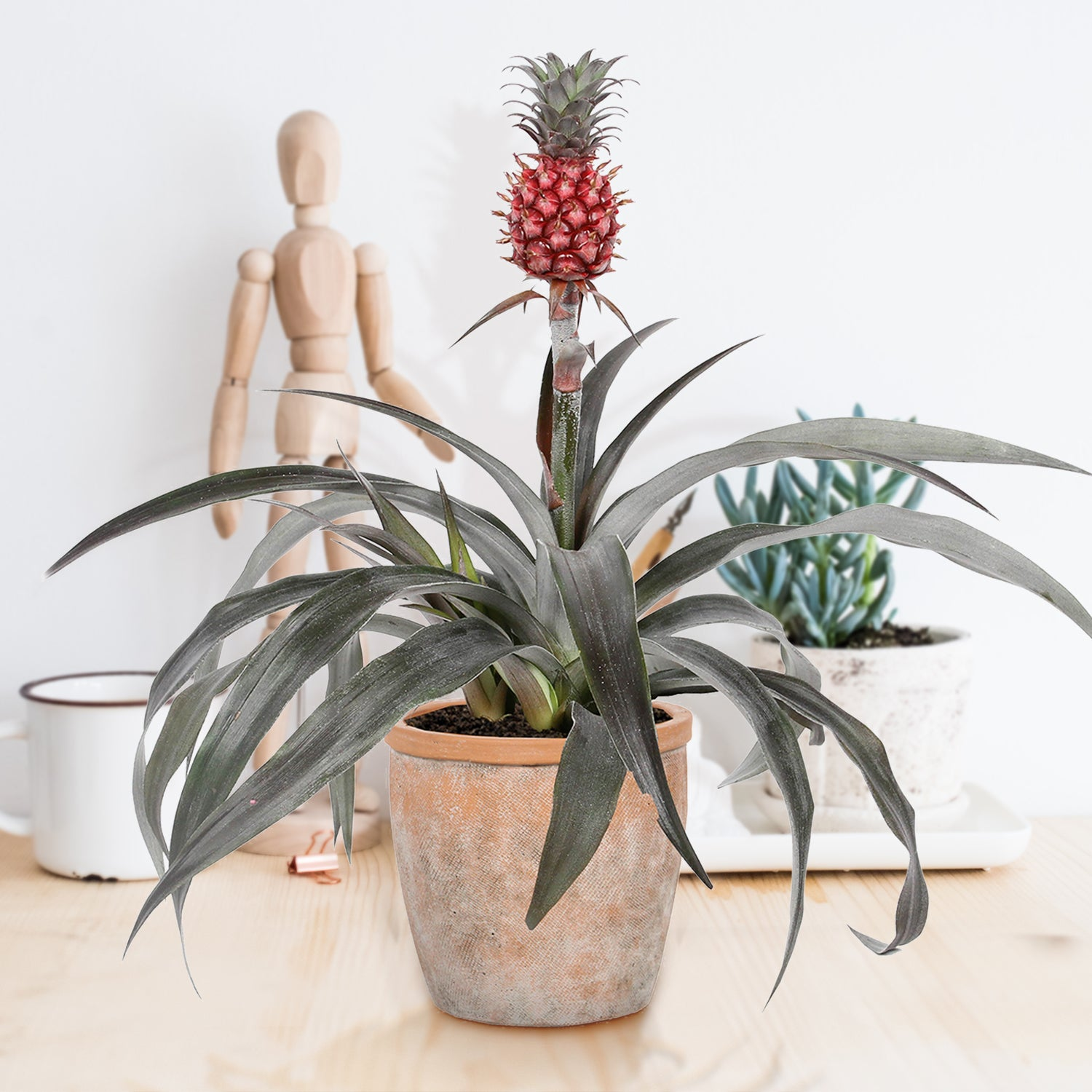 "Choice of Green - Bromelia Ananasplant Pacifico + pot ""Terracotta"" - Hoogte 38 cm - Diameter pot 13 cm"