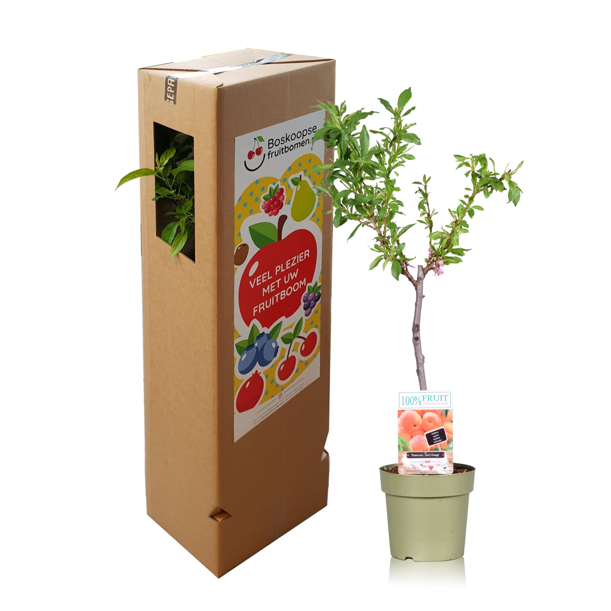 100 % Fruit From Boskoop - Aprikoosboom - Prunus 'Armeniac' - pot 21 cm - Hoogte 80 cm - Diameter pot 21 cm