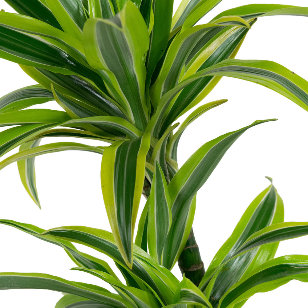 Choice of Green - Dracaena fragrans Lime Drakenboom - set 2 stuks - Hoogte 65 cm - Diameter pot 17 cm