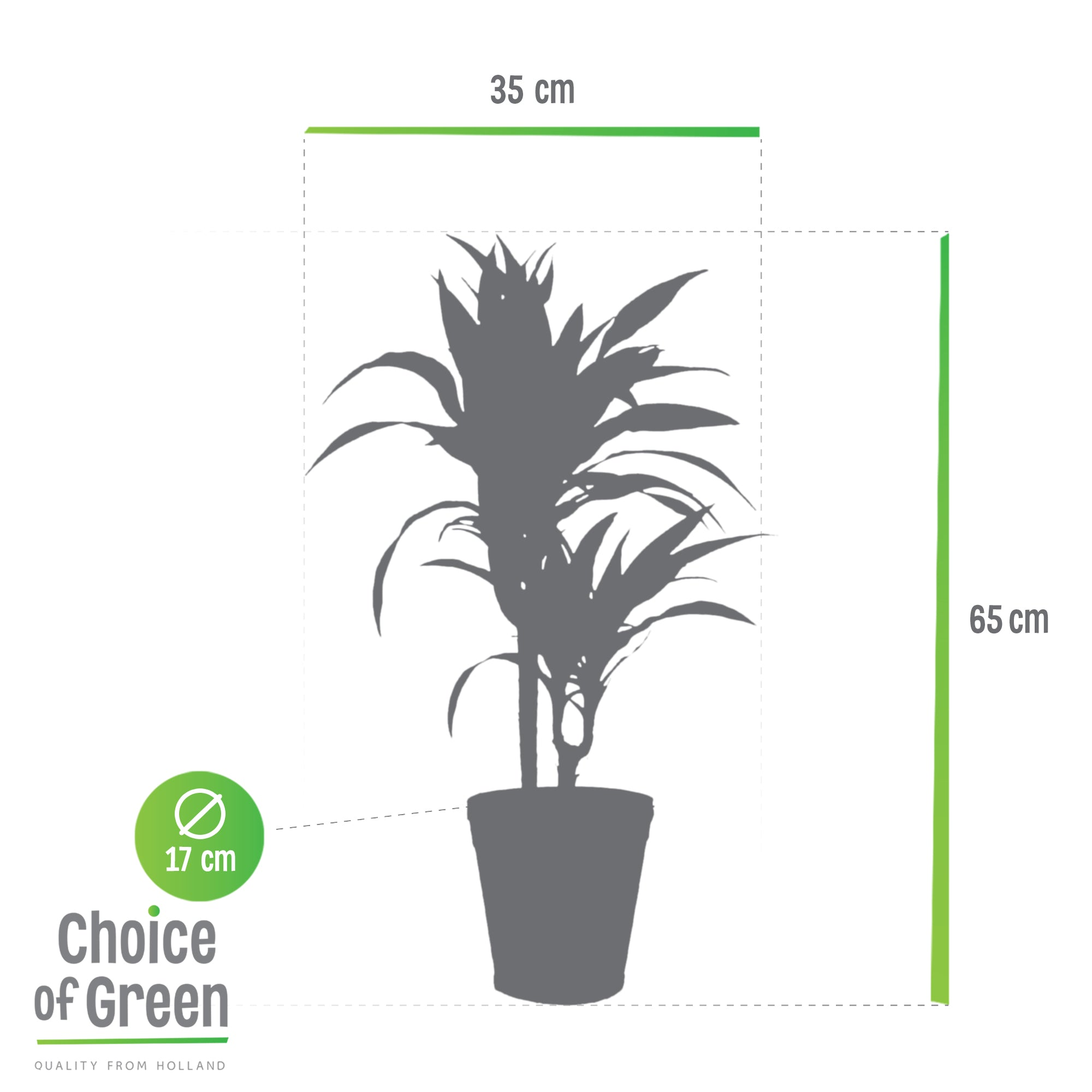 Choice of Green - Dracaena 'Lemon Lime' in witte Chipwood-pot - Hoogte 65 cm - Diameter pot 17 cm