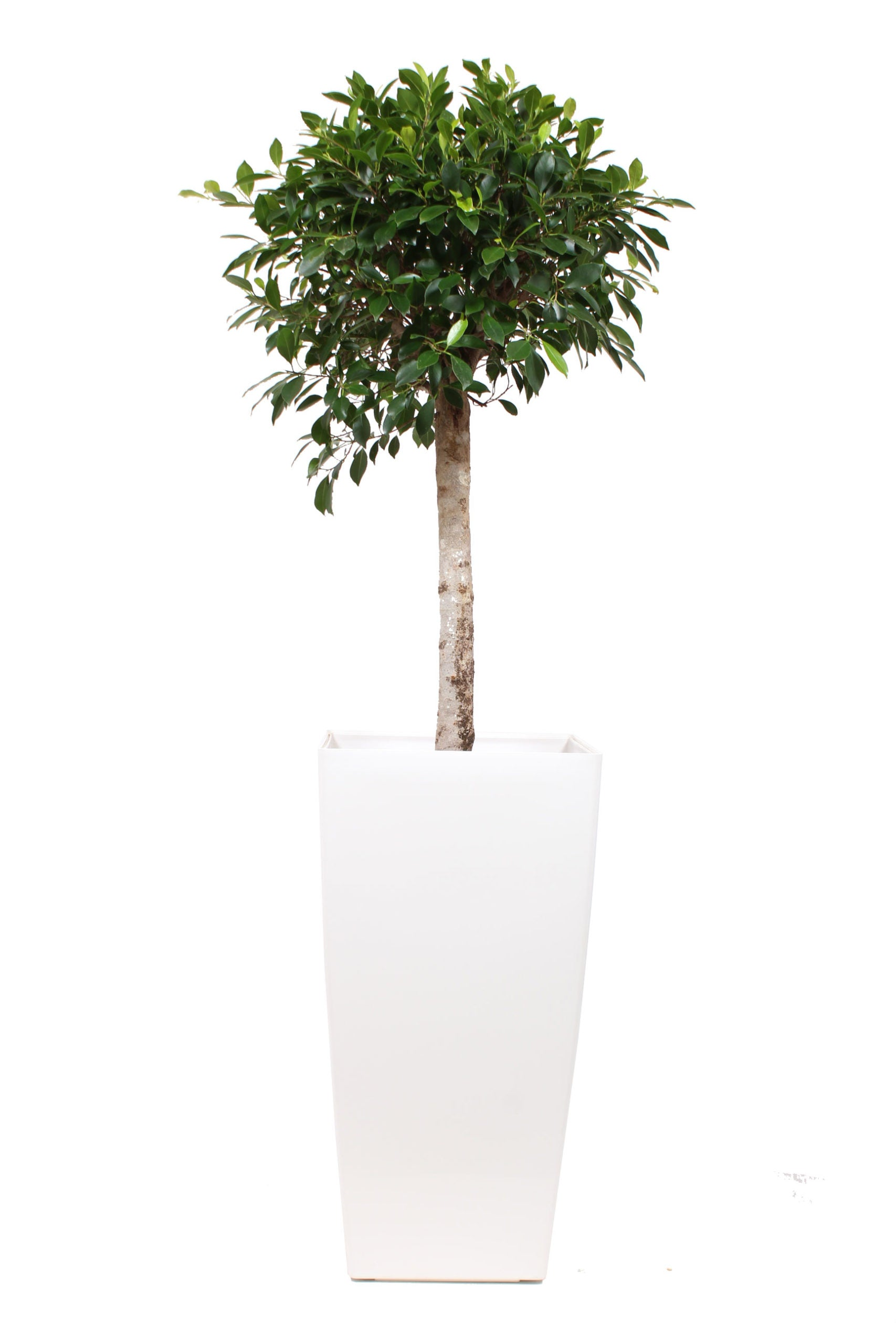 [NE en BE] Ficus Nitida in Piza pot semi-hydroculture White - Hoogte 180 - Diameter pot 40