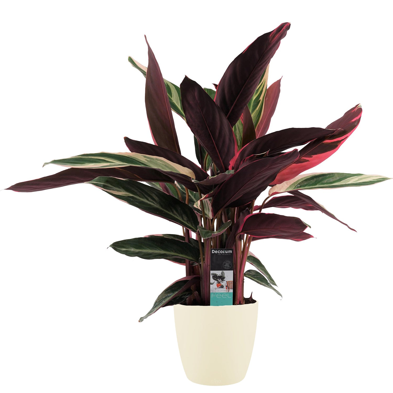 Decorum Calathea Triostar met Elho brussels soap - Hoogte 85 - Diameter pot 19