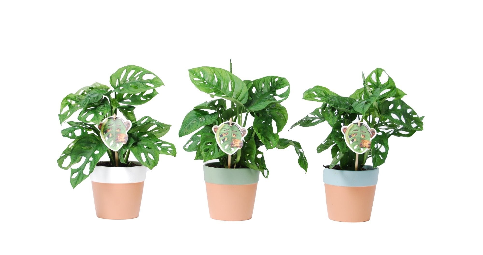 Trio Monstera Monkey Leaf in Romy keramiek - Hoogte 25 - Diameter pot 12