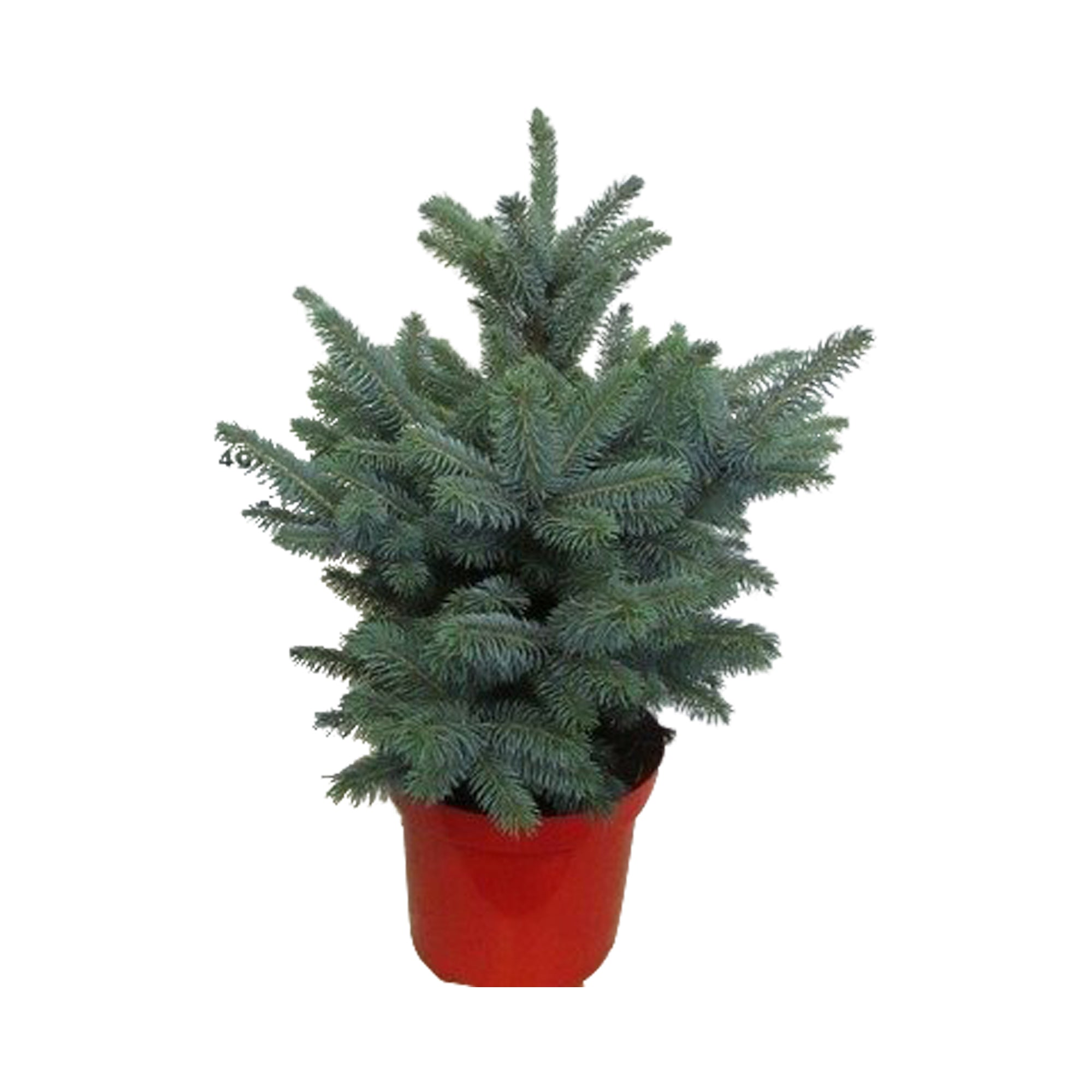 Choice of Green - Picea pungens