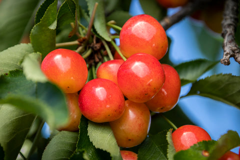 Cherries on the ranch