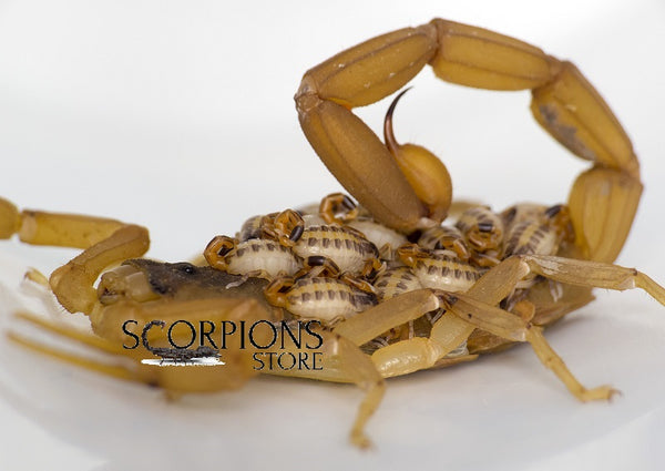 Striped Bark Scorpion with babies Scorpions Store