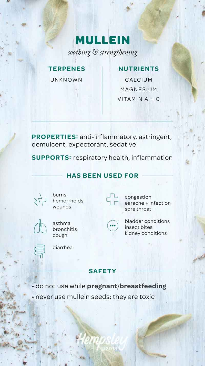 Infographic reference chart for mullein