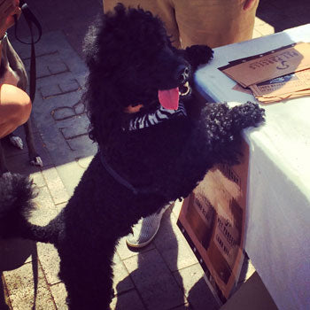 Black Poodle From Surry Hills