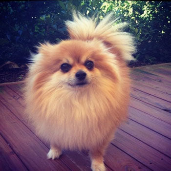 Fluffy Pomeranian Puppy