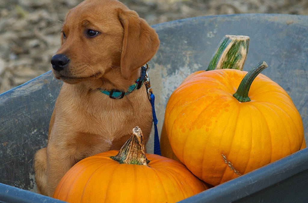 Benefits-of-Hypoallergenic-Diets-for-your-Dog