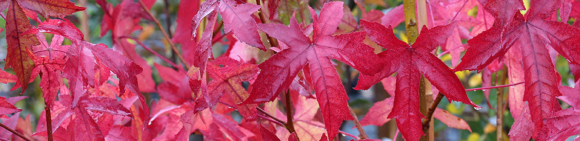 Liquidambar Tree