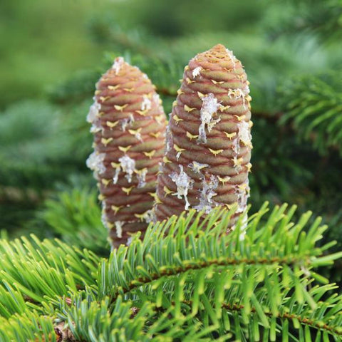 Abies normanniana - Cones