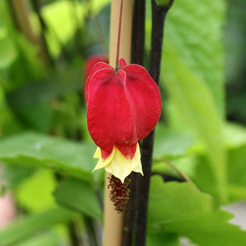 Abutilon megapotamicum - Flower