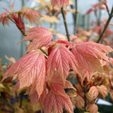 Acer Brilliantissimum - New Foliage