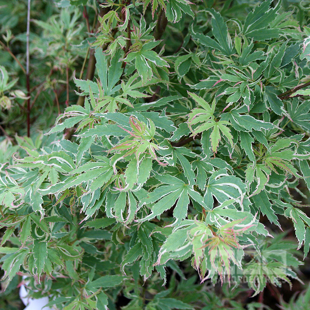 Acer Butterfly Japanese Maple Tree Mail Order Trees