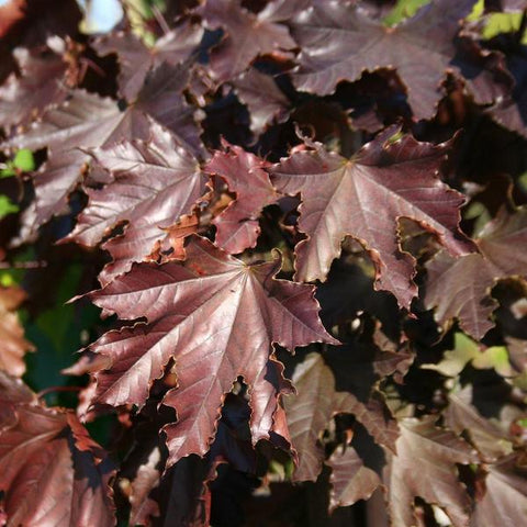 Acer Crimson King - Foliage