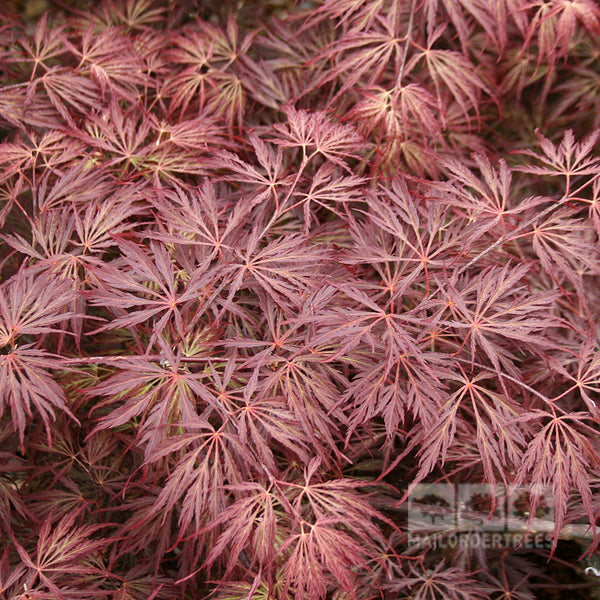 Acer Crimson Queen Japanese Maple Mail Order Trees