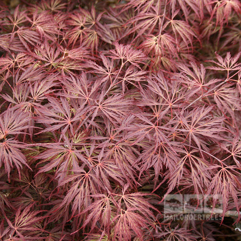 Acer Crimson Queen - Foliage