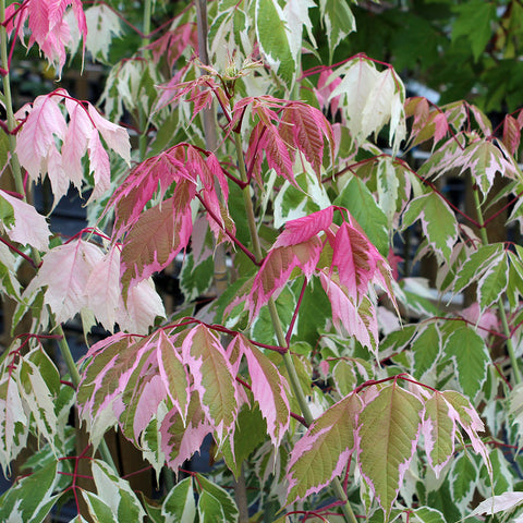 Acer Flamingo - Foliage