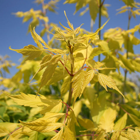 Acer Kelly's Gold - Foliage