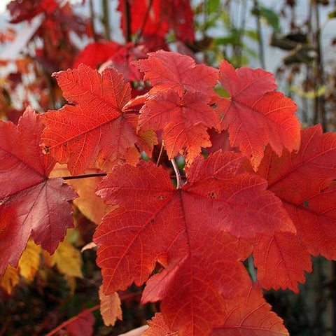Acer October Glory - Foliage