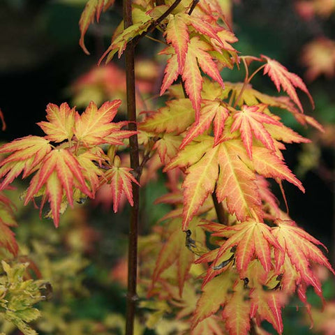 Acer Orange Dream - Foliage